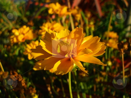 Yellow Coreopsis Flower stock photo,  by Michael Felix