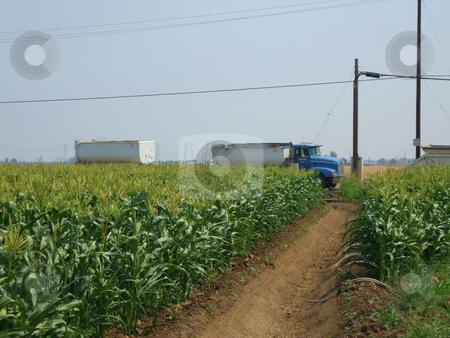 Corn Plants stock photo,  by Michael Felix