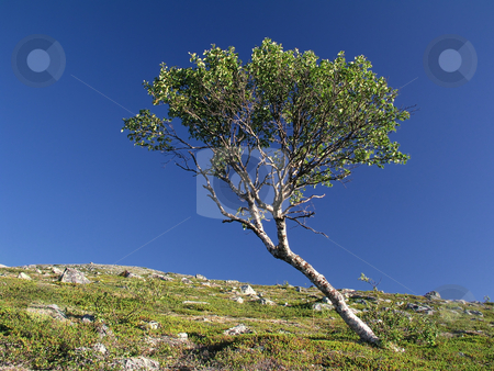 Lonely tree stock photo, Lonely tree in the mountain by Ingvar Bjork