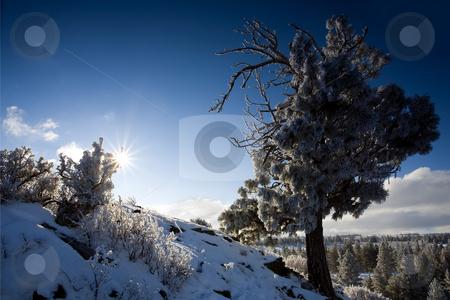 Frozen Pine stock photo, A frozen Ponderoza Pine high above the Tieton River Canyon by Mike Dawson