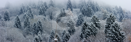 Fir-tree landscape panorama stock photo, Panoramic shot of a foggy hill with fir-trees by Natalia Macheda