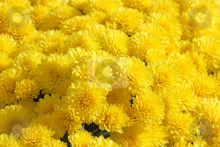 Yellow chrysanthemum background stock photo, Background of flowerheads of yellow chrysanthemum by Natalia Macheda
