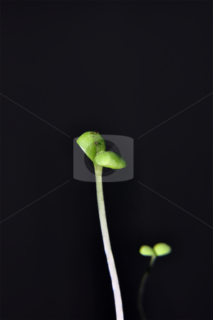 Seedling stock photo, Closeup of a seedling isolated on black backgroud by Nils Volkmer