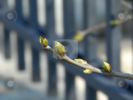 Spring background stock photo, Branch with green spring buds of lilac closeup by Julija Sapic