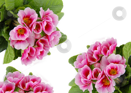 Pink flowers card stock photo, Pink spring flowers frame isolated over white by Julija Sapic