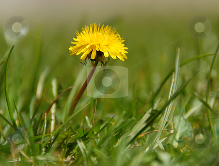 Yellow dandelion stock photo, First small yellow single dandelion in green grass by Julija Sapic