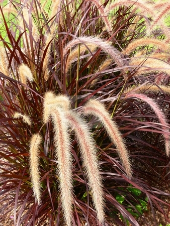 Ornamental grass stock photo, Beautiful ornamental grass in reddish color on the front lawn. by Horst Petzold