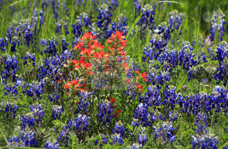 Texas Wild Flowers stock photo, A bunch of orange-red wild flowers in the center of a field of Texas Bluebonnets by Marburg