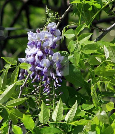 Wisteria stock photo, Clump of wild wisteria by Marburg