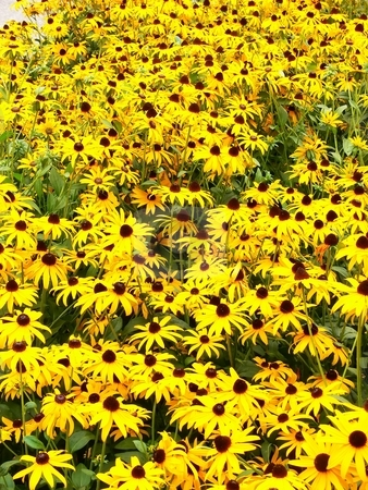 A daisy flower-bed. stock photo, An wonderful yellow daisy flower-bed in the park. by Horst Petzold