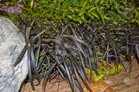 Row of Black Mondo Grass in Lush Foliage Scene stock photo, This photo features a row of black mondo grass amidst other plant foliage and a stone for a beautiful garden scene. by Valerie Garner
