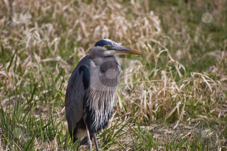 Wildlife Blue Heron Sitting on Ground Closeup stock photo, A closeup shot of a blue heron sitting on the ground with his striking yellow eyes and gorgeous coloring of this beautiful  bird in the wild. by Valerie Garner