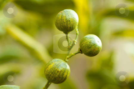 Miniature oranges stock photo, Close up of small ornamental oranges on a shrub by Chris Alleaume