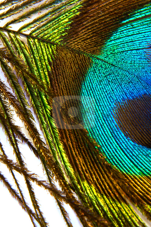 Peacock feather stock photo, Colorful peacock feather;photographed in Frankfurt Main, Germany by Manuela Schueler