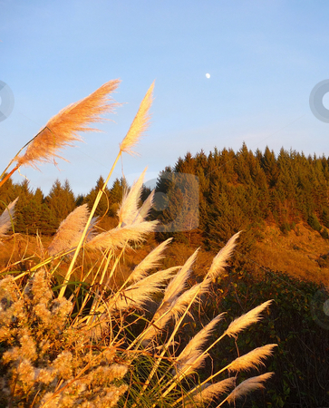 Moonrise over colorful treed mountain stock photo, Moon rises during the day over a colorful treed mountain, framed by swaying pampas grass by Jill Reid