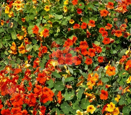 Red and yellow Flowering bush stock photo, Red and yellow flowers in Oregon by Jill Reid