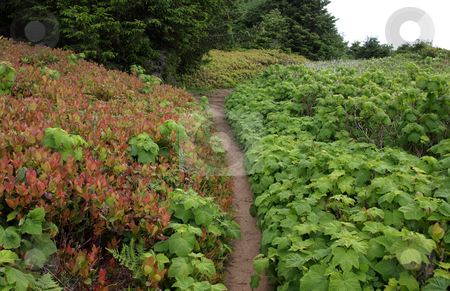 Walking trail in green and red ivy covered hillside stock photo, Walking path trail through green and red ivy covered hillside by Jill Reid