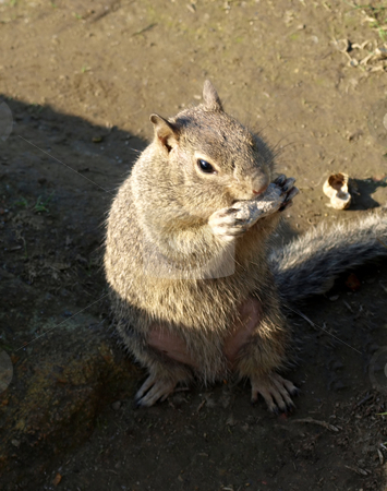 Squirrel eating a nut stock photo, Cute picture of a squirrel eating a shelled nut by Jill Reid