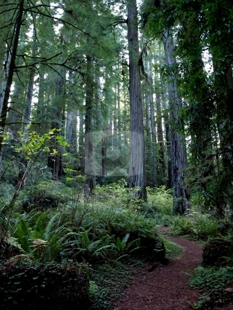 Path through stand of  redwood trees stock photo, Walking path leading through foliage in the redwood forest by Jill Reid
