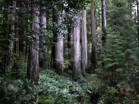 Stand of redwood trees stock photo, Majestic grove of redwood trees along the coastline in Oregon by Jill Reid