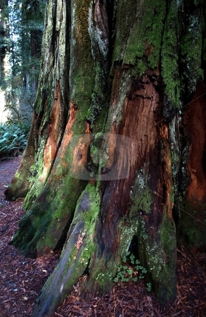 Mossy Redwood tree trunks stock photo, Close up of redwood trees, path through the forest by Jill Reid