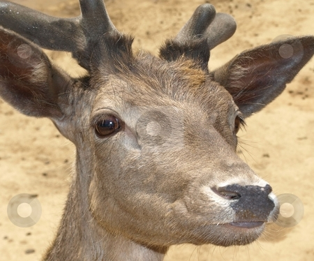 Close-up of deer stock photo, Close-up view of deer head, face and antlers by Jill Reid