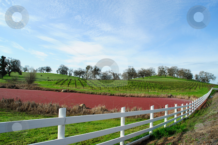 Vineyard, Grass and Pond stock photo, California rolling hills covered in Oaks and a Vineyard with a small pond covered in Mexican Water Fern, Azolla mexicana C. Presl. by Lynn Bendickson