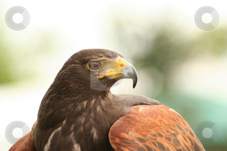 Harris Hawk profile stock photo,  by Helen Shorey