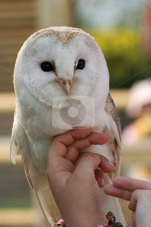 Stroking a Barn Owl stock photo, Childrens hands stroking the breast of a barn owl by Helen Shorey