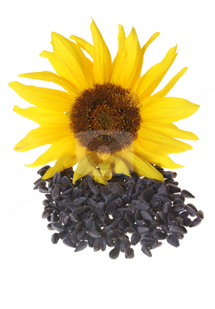 Sunflower stock photo, Sunflower with seeds isolated on white background by Jolanta Dabrowska
