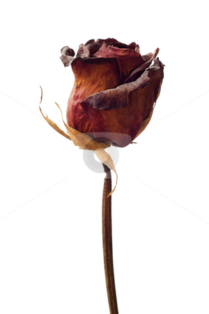 Dried Weathered Rose stock photo, A dried red rose isolated against a white background by Richard Nelson