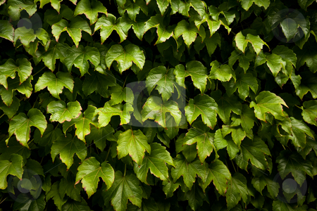 Ivy hedge stock photo, An abstract of plant leaves covering a wall by Angus Benham