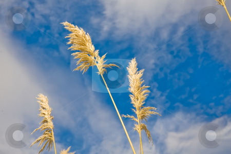 Pampass grass stock photo, Pampas grass or toe toe against cloudy blue skies by Angus Benham