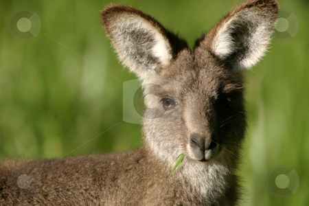 Baby kangaroo stock photo, A young kangaroo with a mouth full of grass by Angus Benham