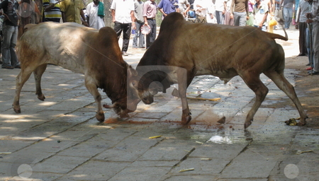 Bull Market stock photo, Two buffalo bulls fighting in a Market by Colin Elves