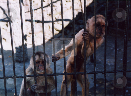 Monkey Prisoners  stock photo, Two Capuchin Monkeys behind bars in a Latin American Zoo. by Colin Elves