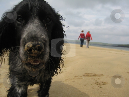 Puppy with a sandy nose stock photo, A blue roan Cocker-Spaniel puppy on a sandy beach by Colin Elves