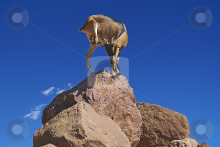 Acrobat stock photo, Goat at the top of a rock in acrobatic position by Serge VILLA