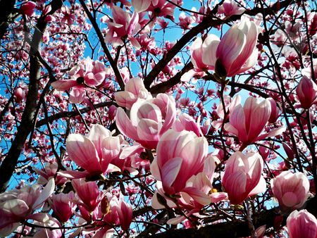 Tulip Tree stock photo, Close up of a pink tulip tree in bloom against a blue sky by Sandra Fann