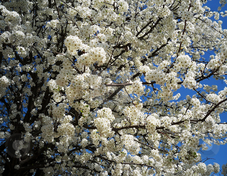 Pear Tree I Spring stock photo, Close up of pear tree in bloom by Sandra Fann
