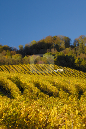 Vineyards in autumn stock photo, Swiss vineyards of La Cote, after the harvest, under a clear blue sky. A tiny vineyard worker can be seen to the right of the building, with his tractor centre left of the picture. Space for text in the sky. by Alistair Scott
