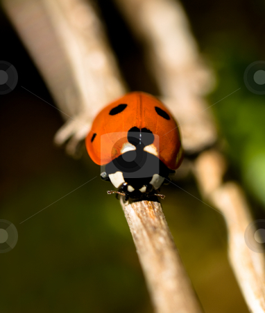 Red ladybug macro stock photo, Macro of a red ladybug climbing on flower by Laurent Dambies