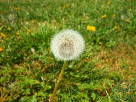 Dandelion Seeds stock photo,  by Michael Felix