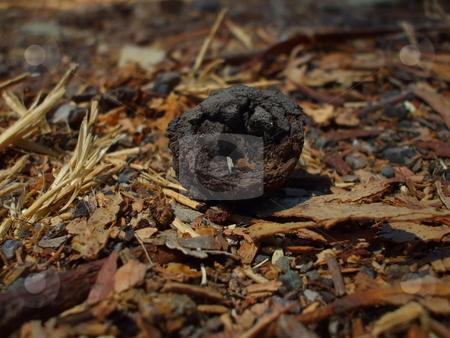Eucalyptus Seed stock photo,  by Michael Felix