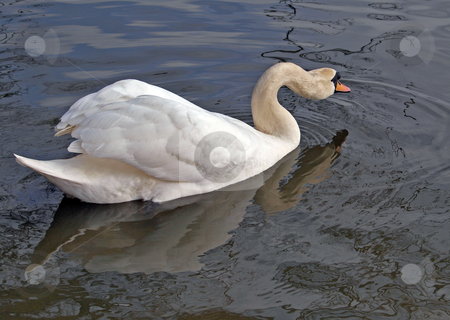 One swan swimming. stock photo, A Mute Swan swiming on a river in England. by Ian Langley