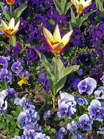 Tulip in bloom. stock photo, Close-up of tulips and pansies in early spring. by Ian Langley