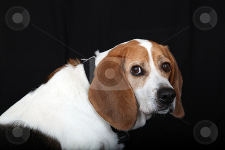 Sitting Dog Beagle looks at you from side stock photo, Beagle sitting to the side and looking over at you by Gregg Cerenzio