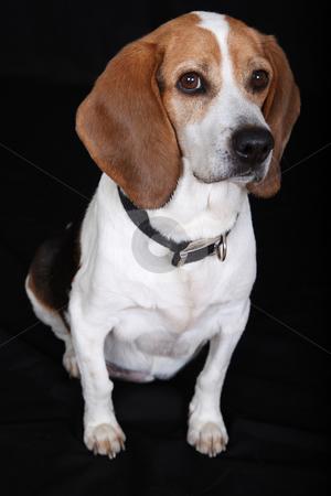 Sitting Dog (Beagle) stock photo, Beagle Sits by Gregg Cerenzio