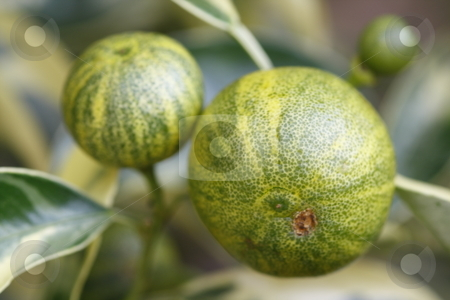 Two tiny oranges stock photo, Close up / macro of two small green ornamental oranges by Chris Alleaume