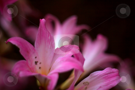 Pink Lily stock photo, Group of pink lilys. by Luke Fabish